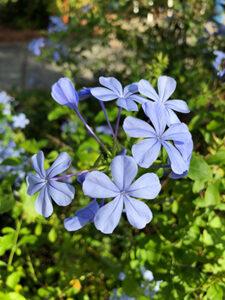 plumbago_flowers